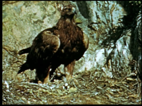 the golden eagle - 13 of 14 - golden eagle stock videos & royalty-free footage