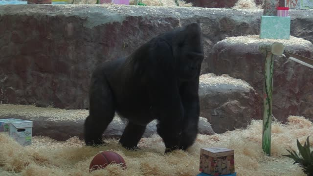 the gorilla tony examines his gift boxes as celebrates his 45th birthday in kiev zoo in kiev ukraine on 08 august 2019 the only one in ukraine the... - 動物園点の映像素材/bロール