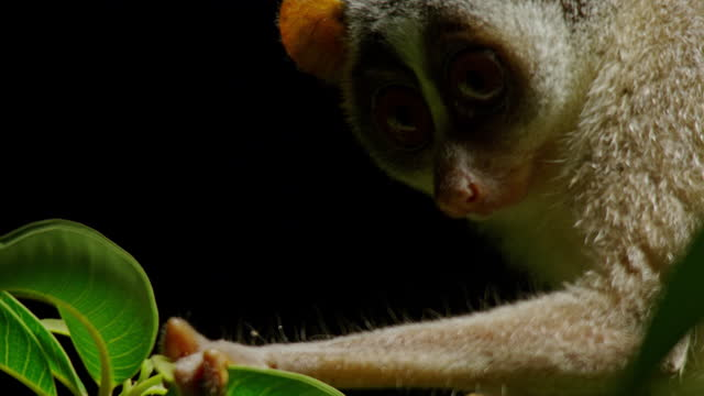 the gray slender loris holding the green leaf and looking at insects - grey hair stock videos & royalty-free footage