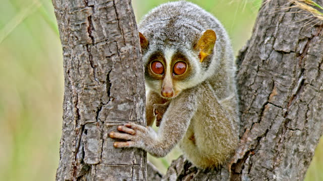 the gray slender loris sitting and resting between the woods - ecosystem stock videos & royalty-free footage