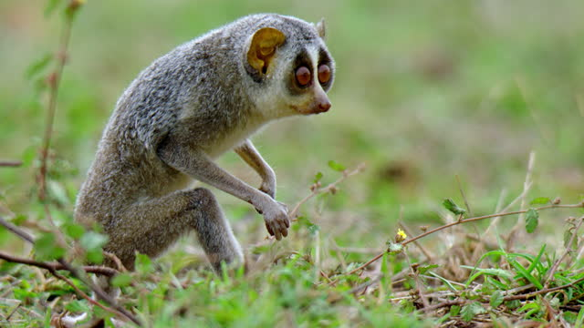 the gray slender loris sitting in grass field and walks away - grey hair stock videos & royalty-free footage