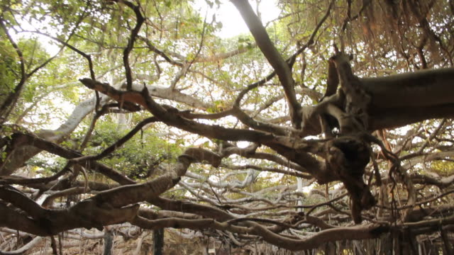vídeos y material grabado en eventos de stock de gran banyan tree del bosque - contraste alto