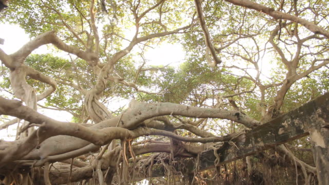 the great banyan tree forest - free falling stock videos & royalty-free footage