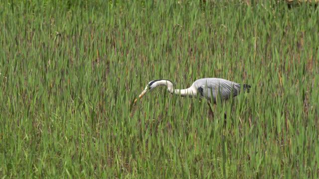 the great blue heron (area herodias) hunting a crawfish. - hamamatsu stock videos and b-roll footage