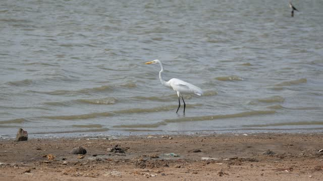 the great egret (ardea alba) is standing in the seashore in the morning in riohacha, colombia - walking in water stock videos & royalty-free footage