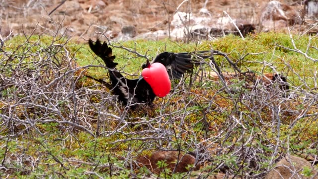 the great frigate bird inflating red throat pouches during the mating season in galapagos islands - bird's nest stock videos & royalty-free footage