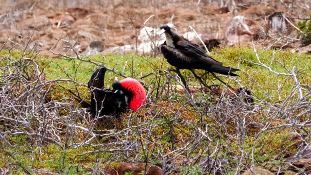 The Great Frigate bird inflating red throat pouches during the mating season in Galapagos Islands