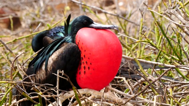 the great frigate bird inflating red throat pouches in galapagos islands - bird's nest stock videos & royalty-free footage