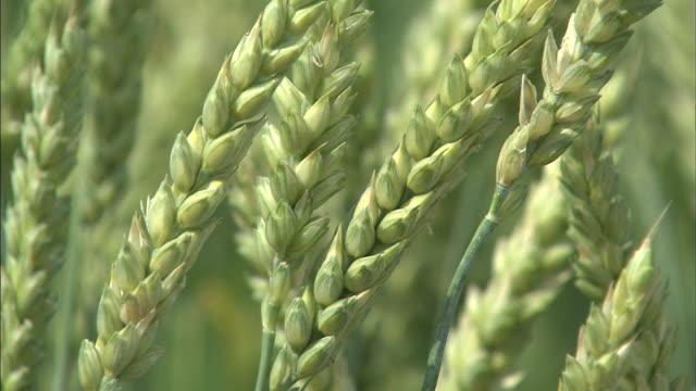 the green ears of wheat rustle in a light breeze. - biei town stock videos & royalty-free footage