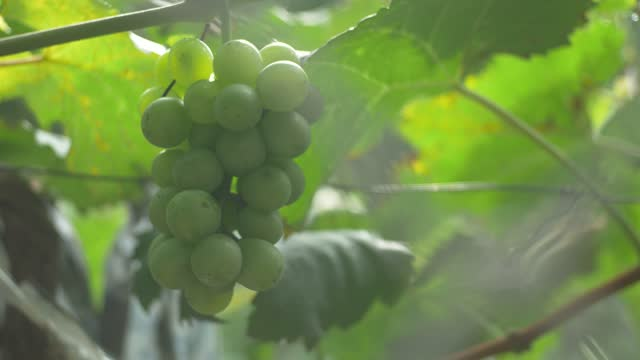 the green grapes hang on the shelf - eastern european culture stock videos & royalty-free footage