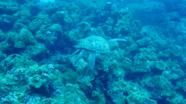 the green turtle swimming into the sea in galapagos islands - green turtle stock videos & royalty-free footage