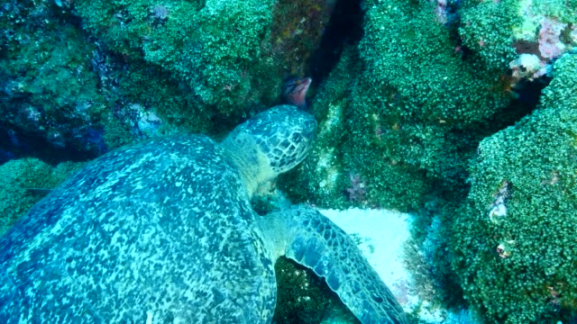 the green turtle that eating moss on rocks in galapagos islands - green turtle stock videos & royalty-free footage