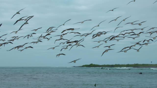 the group of blue-footed booby diving into the water in galapagos islands - galapagosinseln stock-videos und b-roll-filmmaterial