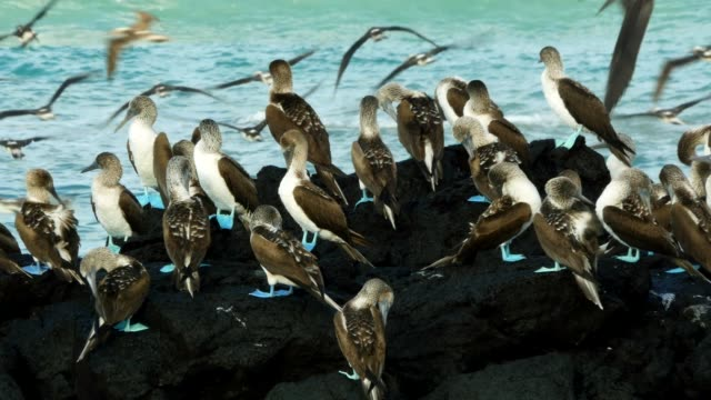 the group of blue-footed booby taking a break on the rocks in galapagos islands - ガラパゴス諸島点の映像素材/bロール