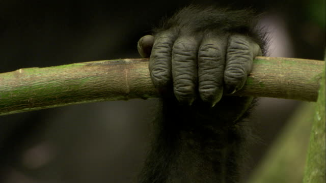 The hand of an infant mountain gorilla slips from a tree branch. Available in HD.