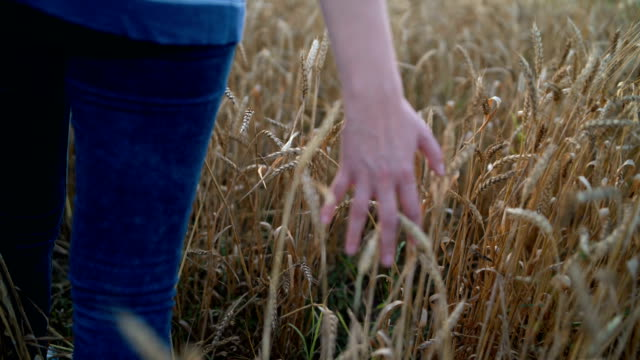 the hand of young woman touching the young rice in paddy field. - rice stock videos & royalty-free footage