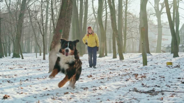 die glücklich, attraktive 50 jährige senior frau spielt mit ihrem berner sennenhund im park in der sonnigen wintertag - 50 54 years stock-videos und b-roll-filmmaterial