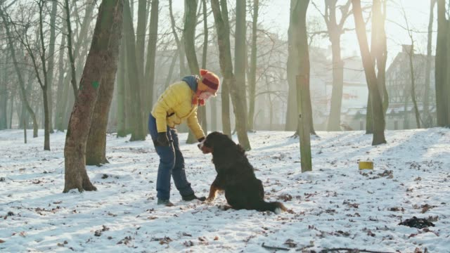 the happy, attractive 50-years-old senior woman playing with her bernese mountain dog in the park in the sunny winter day - 50 54 years stock videos & royalty-free footage