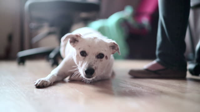 the happy mixed-breed dog playing in the room - accarezzare video stock e b–roll