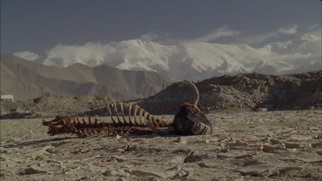 the head and skeleton of a dead cow lie on desert sands near a highway. - afghanistan stock videos & royalty-free footage
