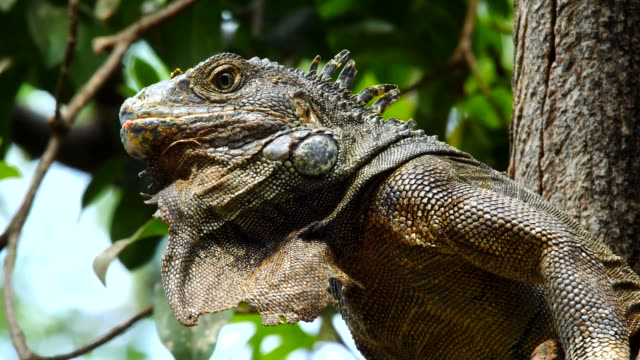 The head and throat pouch of Iguana on the tree in Guayaquil, Ecuador