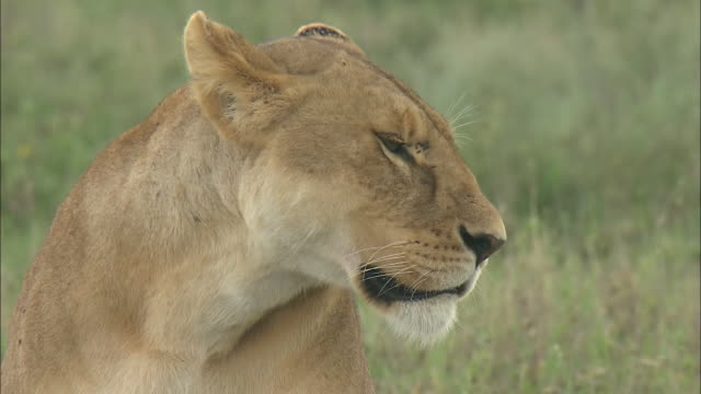 vídeos de stock, filmes e b-roll de the head of a lioness sitting on the grass in serengeti national park, tanzania - bigode de animal