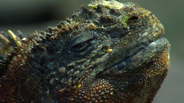the head of galapagos land iguana in galapagos islands - galapagos land iguana stock videos & royalty-free footage