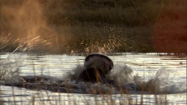 the heads of fighting hippos emerge above water in botswana's okavango delta. available in hd. - オカバンゴデルタ点の映像素材/bロール