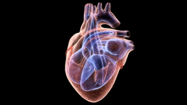 the heart beating in slow motion which is in an x-ray view on a black background. the interior chambers of the heart are colored blue to emphasize their structure. - digital animation bildbanksvideor och videomaterial från bakom kulisserna