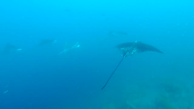 the herd of eagle rays swimming into the sea in galapagos islands - トビエイ点の映像素材/bロール