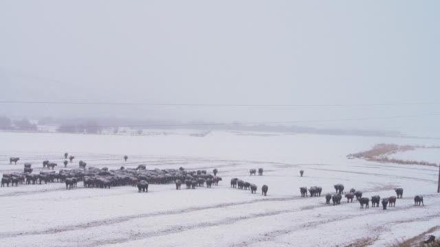 the herd of kettles in the outdoor pastures under the snowfall - pasture stock videos & royalty-free footage