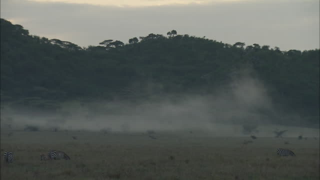 the herd of the zebra on the field in serengeti national park, tanzania - grass area stock videos and b-roll footage