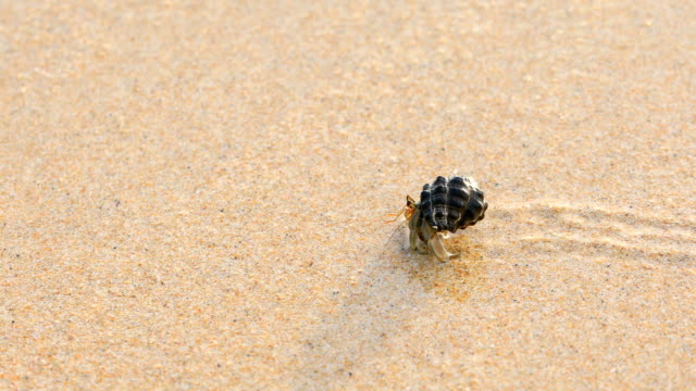 the hermit crab on sand backgrounds, 4k. - hermit crab stock videos & royalty-free footage