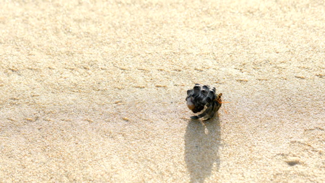 the hermit crab on sand backgrounds, 4k. - animal shell stock videos & royalty-free footage