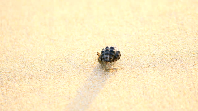 the hermit crab walking on the beach in phuket thailand, 4k. - hermit crab stock videos & royalty-free footage