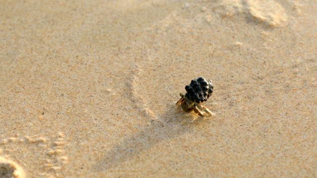 der einsiedlerkrebs, walking am strand in phuket thailand, 4k. - muschelgehäuse stock-videos und b-roll-filmmaterial