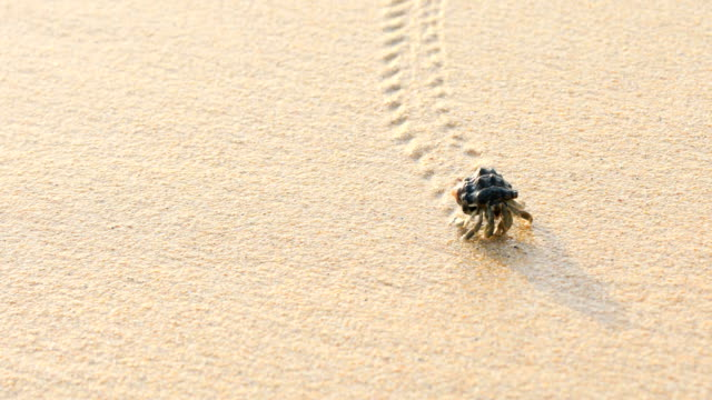 the hermit crab walking on the beach in phuket thailand, 4k. - crab stock videos & royalty-free footage