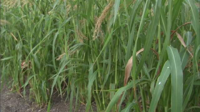 vídeos y material grabado en eventos de stock de the hexagonal structures of the eden project arc over corn and other vegetation. - cornwall inglaterra