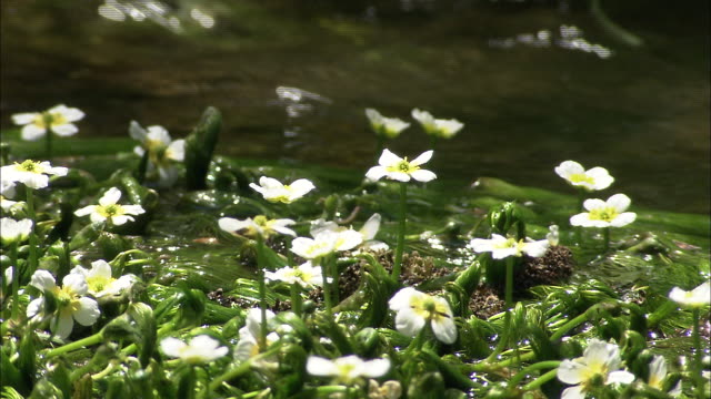 the himekawa riverhead - ranunculus stock videos & royalty-free footage