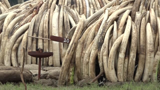 the historic burning of 105 tonnes of ivory in nairobi national park as a signal against elephant poaching - 象牙点の映像素材/bロール