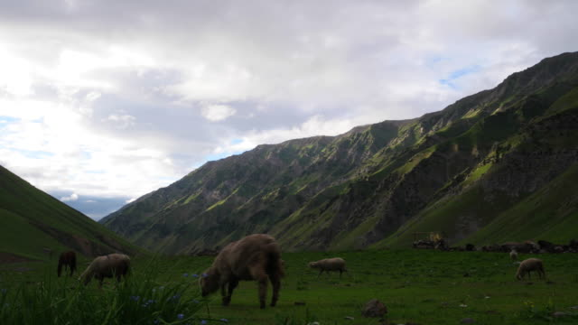 The horse and sheep of the nomadic tribes grazing at a high altitude valley in Kashmir