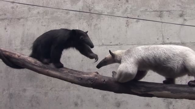 The Huachipa zoo East of Lima is home to several species of anteater including the world's smallest pygmy anteaters which have to be kept in special...