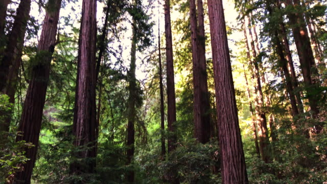 the huge muir woods in the north of california. - northern california stock videos & royalty-free footage