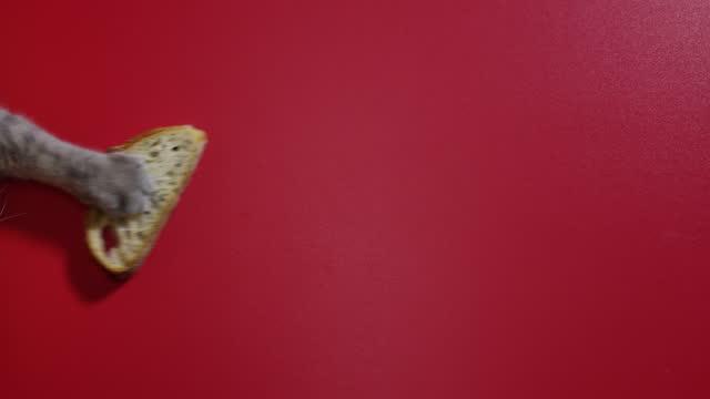 die hungrige großkatze stiehlt brot auf rotem boden. knolling-konzept im studio - verstecken stock-videos und b-roll-filmmaterial
