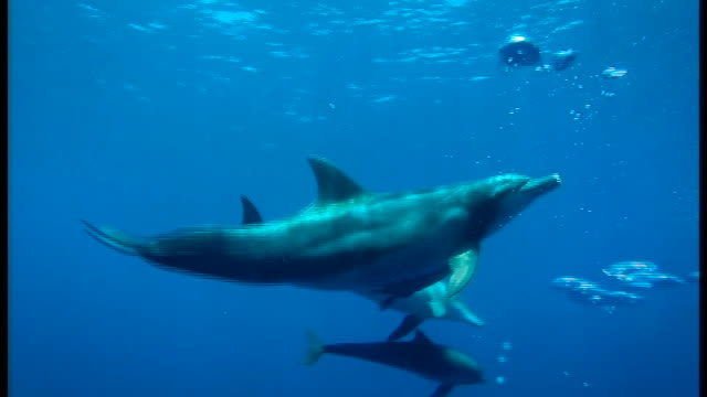 The ideal time to watch and even swim along with dolphins in the wild has arrived at the Ogasawara Island chain located approximately 1000 kilometers...