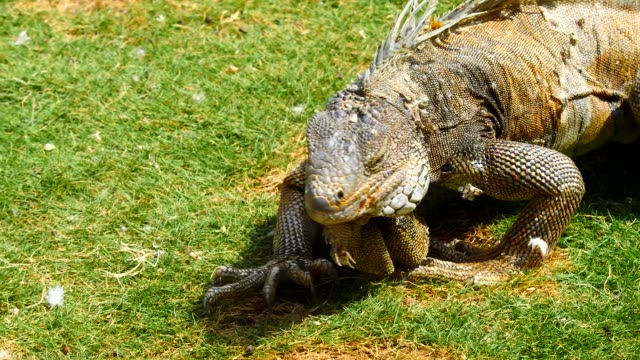 The Iguana eating a leaf in Guayaquil, Ecuador
