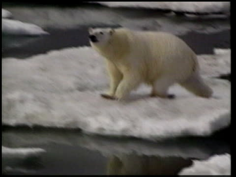 the impact of global warming on the inuit community tx polar bear jumping on melting ice - arktis stock-videos und b-roll-filmmaterial