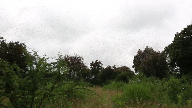 the impact the locusts invasion is having in eastern kenya and its inhabitants in kitui kenya on saturday january 25 2020 - east africa stock videos & royalty-free footage