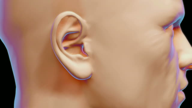 The internal structure of the ear