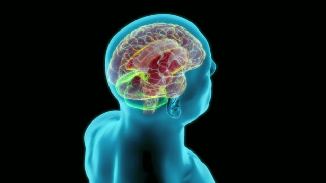 the internal structures of the brain - midbrain stock videos & royalty-free footage